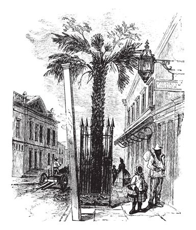 A palm tree occurring in the south-eastern U.S. and the West Indies. Commonly grown for shade and as ornamentals along avenues, palmettos grow to about 80 ft. tall and have fan-shaped leaves, vintage line drawing or engraving illustration.  イラスト・ベクター素材