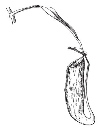 The picture is showing a leaf of Pitcher Plant. They leaves are prey-trapping mechanism featuring a deep cavity filled with digestive fluid liquid, vintage line drawing or engraving illustration.