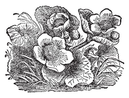 Marsh marigold, known as Caltha palustris and kingcup, is a both small to medium size perennial herbaceous plant of the family Ranunculaceae, vintage line drawing or engraving illustration.