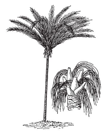 A picture of a South American palm which is famous in producing piassava, vintage line drawing or engraving illustration.