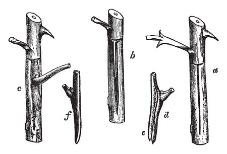 The stem of shield-budding, it shape of just knife, they used in fruit tree, the most common used in t shape, vintage line drawing or engraving illustration. Illustration