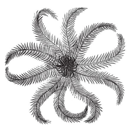 Rosy feather star is flattened and covered with several cacareous plates and the lower or entral surface bears the mouth, vintage line drawing or engraving illustration.