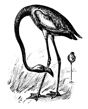 American Flamingo large pink birds found in west indies and along the Galapagos Island  vintage line drawing.