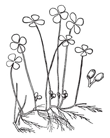 Marsilia Quadrifoliata is flowering plant found in central and southern Europe, Caucasia, western Siberia, Afghanistan, south-west India, China, Japan, and Vietnam, vintage line drawing or engraving illustration.