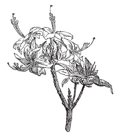 A flower has 5-6 petals and stigma is very long. And flowers growing on branch, stalk less, vintage line drawing or engraving illustration.