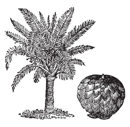 A fruit obtained from palm trees. The sage-bearing palms thrive in the East and West Indies, the Bahamas, and New Guinea, vintage line drawing or engraving illustration.