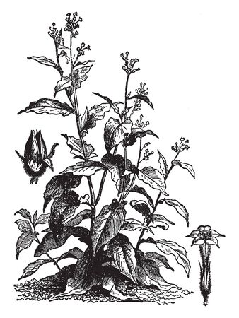 Tobacco leaves are mainly used for smoking in cigarettes, vintage line drawing or engraving illustration.