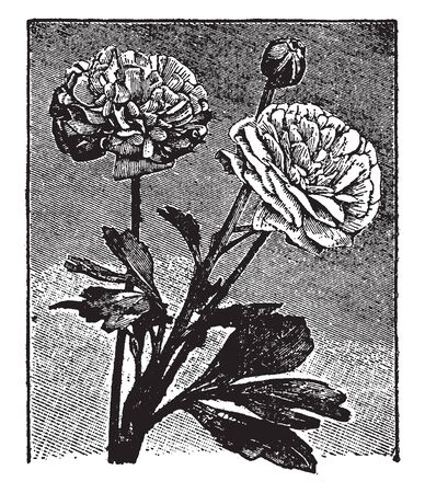 This picture is showing a two flower. This is full growing flower. It is a dense flower. This flower is rounded shaped. The petal is small and heart shaped, vintage line drawing or engraving illustration.
