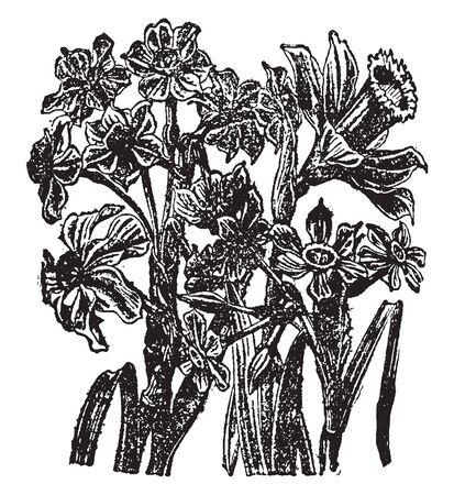 Plants and Flowers belonging to genus Narcissus, vintage line drawing or engraving illustration.