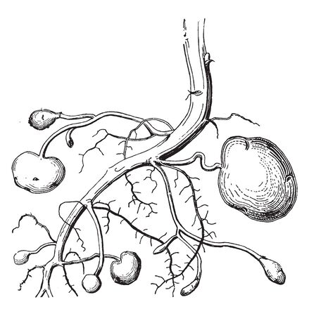 This is a potato root. This picture shows real roots of the potato and as well as all stages of potato forming, vintage line drawing or engraving illustration.