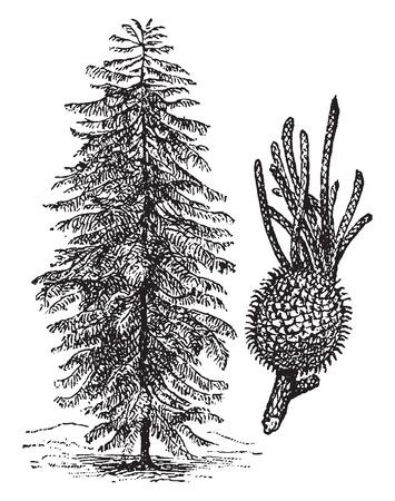 Norfolk Island pine is a vascular plant named as Araucaria Heterophylla. The trees grow to a height of 50-65 m, with straight vertical trunks and symmetrical branches, vintage line drawing or engraving illustration.