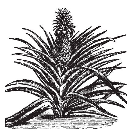 A picture showing fruit of Pineapple which is a delicious tropical fruit. A sweet, yellow fruit resembling a pine cone, vintage line drawing or engraving illustration.
