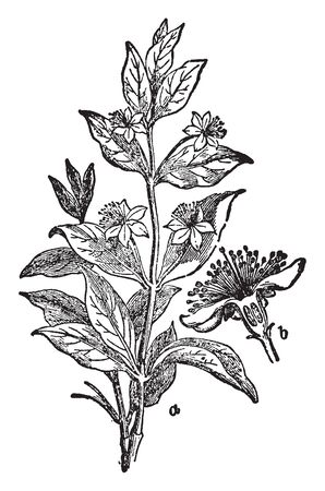 A picture of Myrtle plant. Myrtus, with the common name myrtle, is a genus of flowering plants in the family Myrtaceae and is native to North Africa. The star-like flower has five petals and sepals, vintage line drawing or engraving illustration.