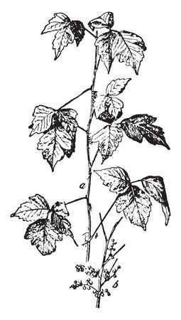 Trujący bluszcz, to trująca roślina kwitnąca Azji i Ameryki Północnej, vintage rysowania linii lub grawerowania ilustracja.