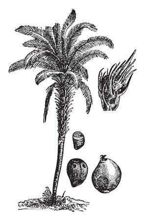 A picture, thats showing a oil palm tree. This plant is very long and thick. The flower and fruit are red its produces palm oil. The leaves are long and hairy. Stem is thick, vintage line drawing or engraving illustration.