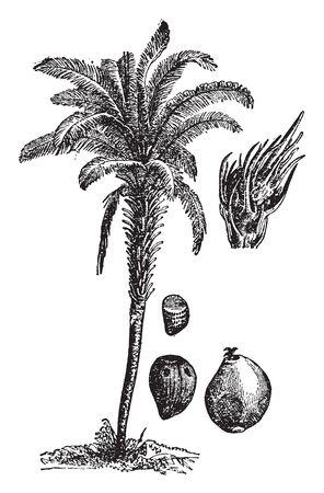 Ein Bild, das eine Ölpalme zeigt. Diese Pflanze ist sehr lang und dick. Die Blüte und Frucht sind rot und produziert Palmöl. Die Blätter sind lang und behaart. Der Stamm ist eine dicke, Vintage-Linienzeichnung oder Gravierillustration.