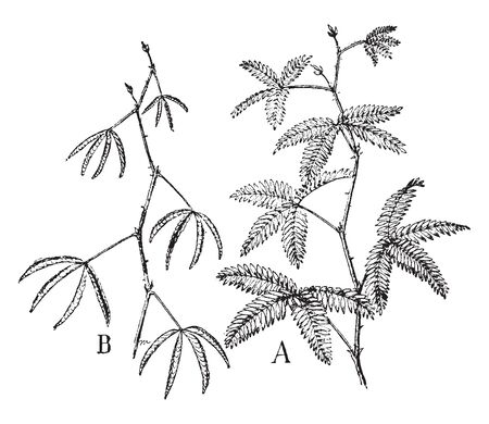 Mimosa is a touch-me- not plant, used to grow like weeds. This picture shows a mimosa plant in figure A in sunlight which indicates it is a light sensitive plant and shows in dark in figure B, vintage line drawing or engraving illustration. Banco de Imagens - 132956738