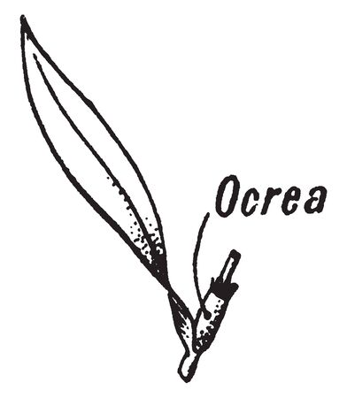 Ocrea is a tubular sheath around the base of the petiole and it formed of the fused stipules, vintage line drawing or engraving illustration.