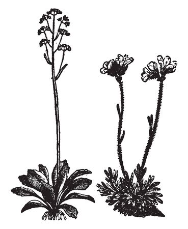 Picture of Saxifrage plant. It belongs to Saxifragaceae family. Plants form mounds or creeping mats and produce tiny flowers. Leaves pack tightly together and carpet rocks and lightly shaded nooks, vintage line drawing or engraving illustration.
