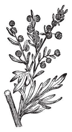 Wormwood will grow almost anywhere even on poor soils often with little water.it leaves silky on both sides, twice or thrice pinnatified, dotted; the yellow flowers in racemes, vintage line drawing or engraving illustration.