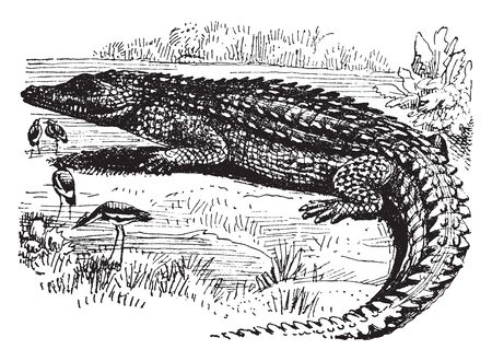 Nile Crocodile is an African crocodile the largest freshwater predator in Africa, vintage line drawing or engraving illustration.