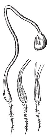 Germinating onion more advanced. The chink at base of cotyledon is opening for the protrusion of the plumule consisting of a thread-shaped leaf, vintage line drawing or engraving illustration.
