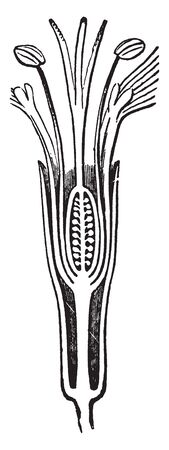 Picture shows Silene Pennsylvanica Flower. It's showing stipe between calyx and corolla. Calyx tubular, 5-toothed, much enlarged in fruit, sticky; 5 petals with claws enclosed in calyx, wedged-shaped, vintage line drawing or engraving illustration.