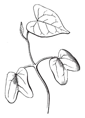The image shows newly germinated seed leaves, stem and the roots. A seedling is a young plant developing out of a plant embryo from a seed, vintage line drawing or engraving illustration. Ilustração