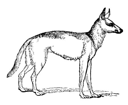 An image showing a sub species of wolf known as Canis lupus, vintage line drawing or engraving illustration.
