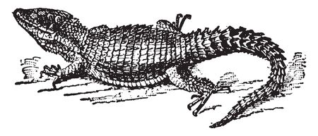 Zonurus is the type genus of Acanthocercus with several species from the Madagascar, vintage line drawing or engraving illustration.