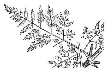 Poison hemlock is a highly poisonous biennial herbaceous flowering plant. All parts of the plant are hairless. The leaves are two- to four-pinnate, finely divided and lacy, overall triangular in shape, vintage line drawing or engraving illustration. Illustration
