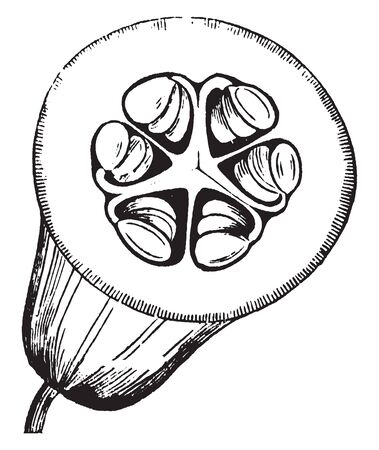 A picture showing the sectional view of Pepo fruit. A Pepo is a sort of berry with a harder rind, vintage line drawing or engraving illustration.