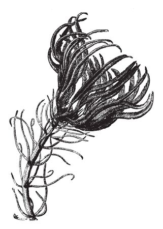 Sea lilies are flowerlike with branching arms surrounding the central mouth, vintage line drawing or engraving illustration.