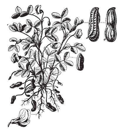 The peanut, also known as the groundnut is a legume crop grown mainly for its edible seeds, vintage line drawing or engraving illustration.
