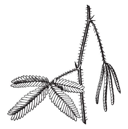 A picture shows branch of Sensitive Plant. The compound leaves fold inward and droop when touched or shaken. It belongs to pea family and also called as Mimosa pudica, vintage line drawing or engraving illustration. Banco de Imagens - 132957919