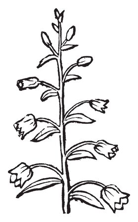 This picture is showing a raceme. The flower bud starts to grow. The small leaves grow, vintage line drawing or engraving illustration. Vector Illustration
