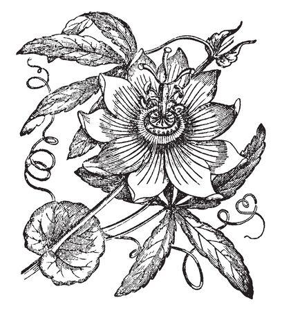 La passiflore a des vrilles qui jaillissent de l'aisselle des feuilles, herbacées ou semi arbustives. Les fleurs de Passiflora ont 5 pétales, sépales et étamines, 3 stigmates et une couronne de filaments, dessin au trait vintage ou illustration de gravure.