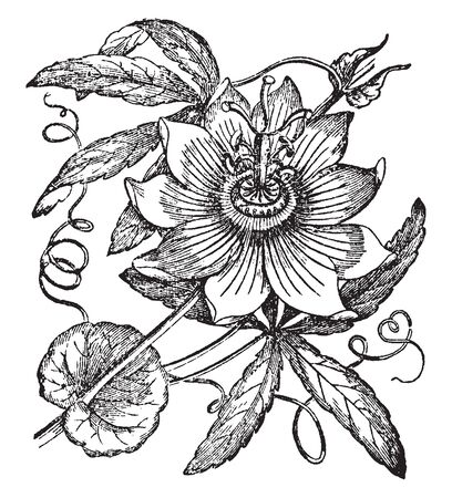 Passionflower has tendrils which spring from the axils of the leaves, herbaceous or half shrubby. The flowers of Passiflora have 5 petals, sepals, and stamens, 3 stigmas, and a crown of filaments, vintage line drawing or engraving illustration.