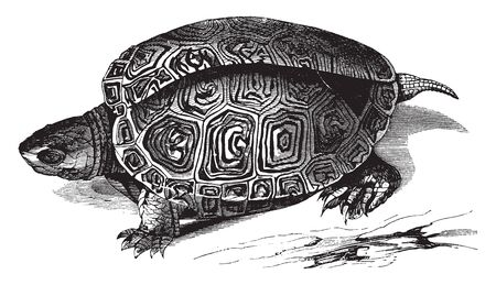 Smooth terrapin is found from Rhode island southward along the eastern coast of the United States, vintage line drawing or engraving illustration.