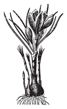 A picture showing plant of Saffron which is an autumn-flowering species of crocus. It is often called autumnal saffron to distinguish it from a species called spring saffron, which resembles closel, vintage line drawing or engraving illustration.