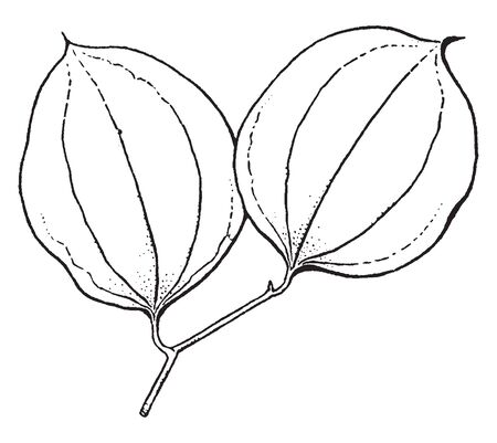 A picture showing the branch of Smilax Tree. The Leaves of Smilax tree are with several veins running from base to apex and the stems are mostly thorny, vintage line drawing or engraving illustration.