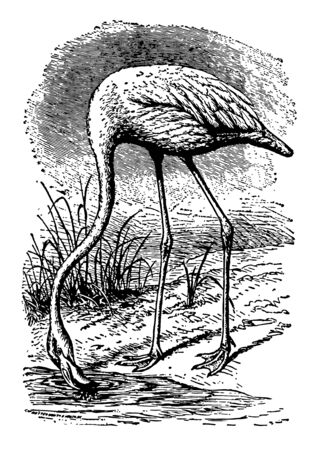 Flamingo usually stands on one leg having very thin legs vintage line drawing.
