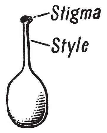 A picture describing the Stigma which is sticky portion of the pistil, usually terminal, on which the pollen is deposited, vintage line drawing or engraving illustration. Illustration
