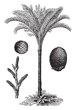A picture of a Indian Sago palm. Sago palm is a common name for several plants that are used to produce a starchy food known as Sago, vintage line drawing or engraving illustration.