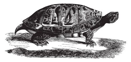 Red bellied terrapin is a species of turtle in the Pseudemys genus of the Emydidae family, vintage line drawing or engraving illustration.