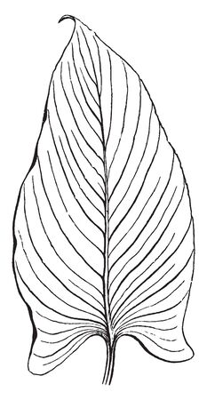 A image showing parallel-veined leaf. The veins run from the middle of the leaf to the margins, vintage line drawing or engraving illustration.