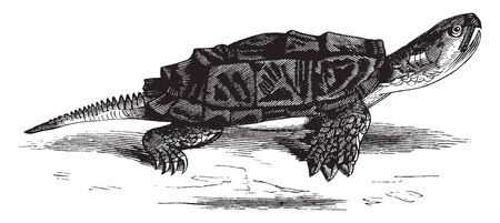 Snapping turtle is a large freshwater turtle of the family Chelydridae, vintage line drawing or engraving illustration. Illusztráció