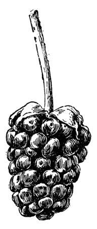 Lucretia Dewberry vintage illustration.