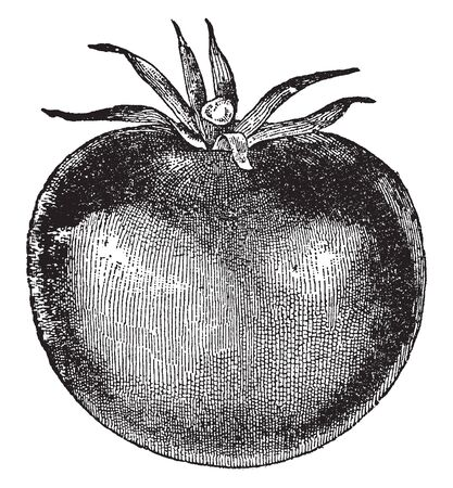 In this picture there is a tomato. This tomato is completely prepared and its colour is red, vintage line drawing or engraving illustration. Çizim