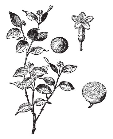 Nux-vomica or Strychnine tree is an evergreen tree native to Southeaast Asia, vintage line drawing or engraving illustration.